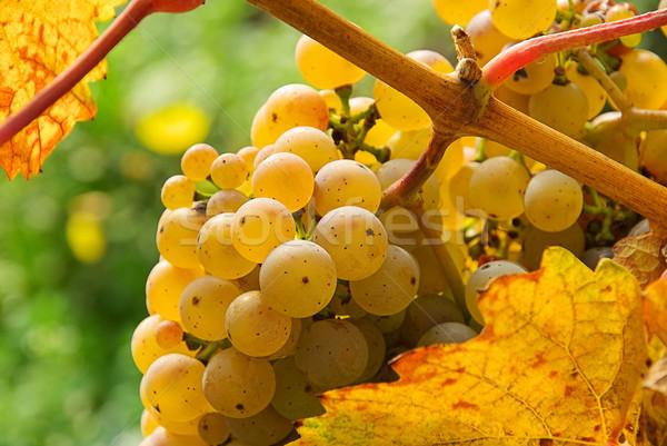 Druif witte 14 vruchten achtergrond groene Stockfoto © LianeM