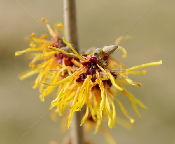 Hamamelis 31 Stock photo © LianeM