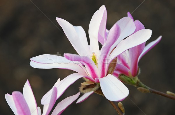 магнолия природы парка белый филиала Purple Сток-фото © LianeM