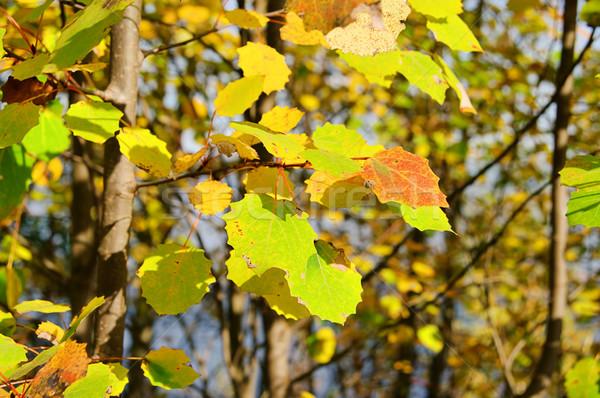 Zdjęcia stock: Drzew · zielone · pozostawia · jesienią · kolor · spadek
