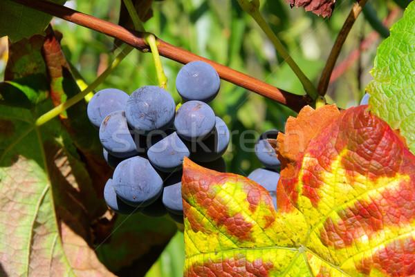 üzüm kırmızı 19 meyve bahçe mavi Stok fotoğraf © LianeM