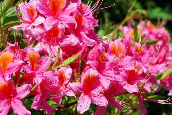 Azalea tuin achtergrond plant roze bloesem Stockfoto © LianeM