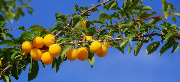 mirabelle plums at the tree  Stock photo © LianeM