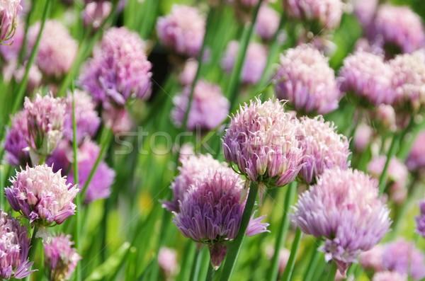 Cebollino alimentos hierba jardín planta vegetales Foto stock © LianeM