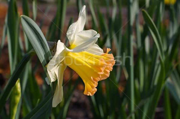 Nárcisz virág Stock fotó © LianeM