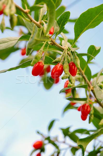 goji berry 06 Stock photo © LianeM
