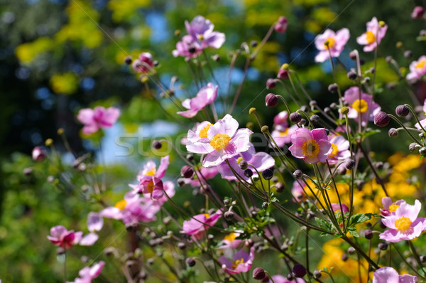 Japanese anemone flowers in summer Stock photo © LianeM