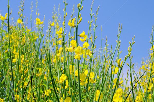 Vassoura 15 flor primavera natureza planta Foto stock © LianeM