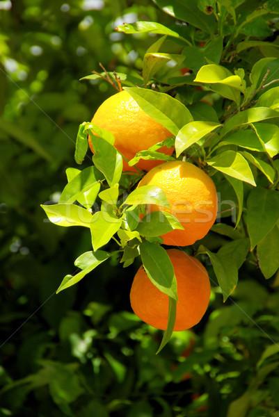 orange fruit on tree 05 Stock photo © LianeM