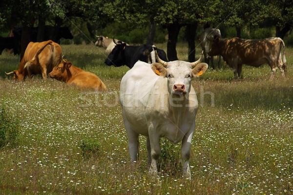 cow 21 Stock photo © LianeM