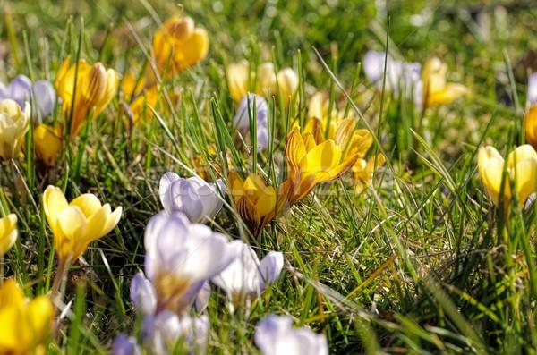 Azafrán hierba jardín invierno planta pradera Foto stock © LianeM