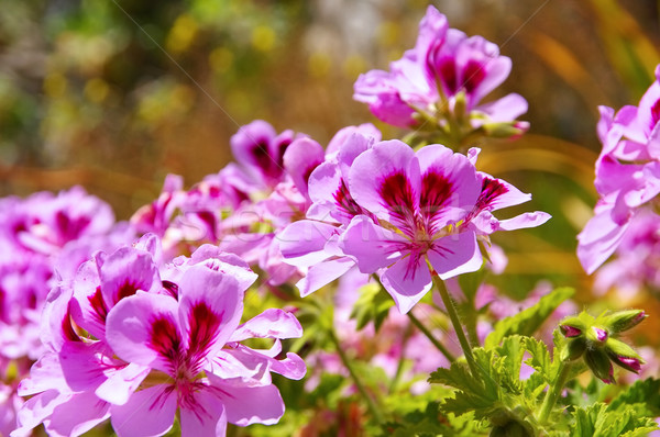 Geranium flowers in garden Stock photo © LianeM