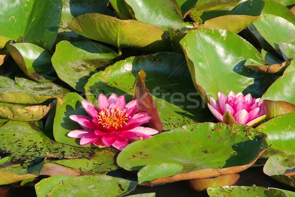 water lily 27 Stock photo © LianeM