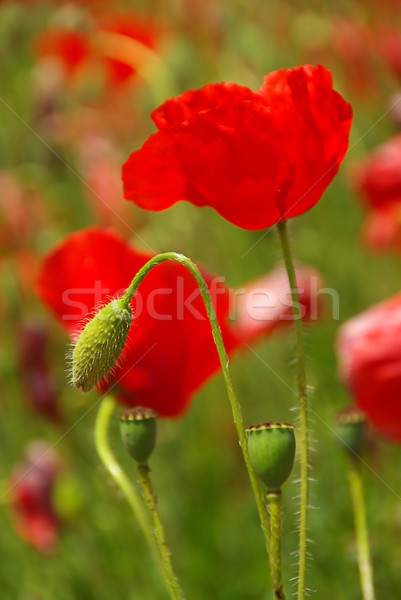 corn poppy 21 Stock photo © LianeM