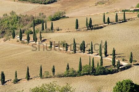 Cyprys krzywa spadek drzewo charakter dziedzinie Zdjęcia stock © LianeM