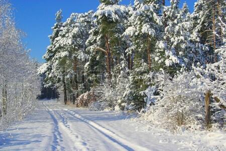 Floresta inverno 15 árvore sol verde Foto stock © LianeM