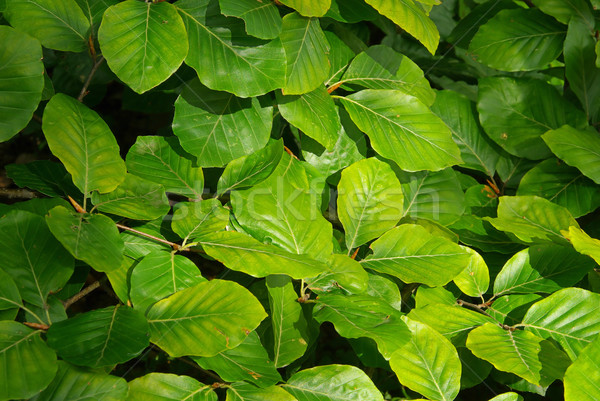 beech foliage 05 Stock photo © LianeM
