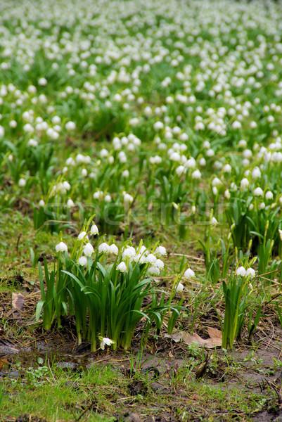 Vad nárcisz virág tavasz fű természet Stock fotó © LianeM