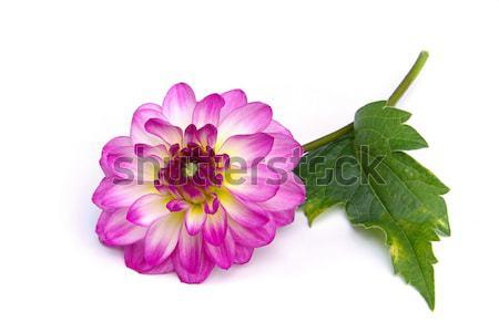 георгин цветок лист саду фон зеленый Сток-фото © LianeM