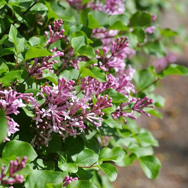 небольшой Purple сирень цветок зеленый Сток-фото © LianeM