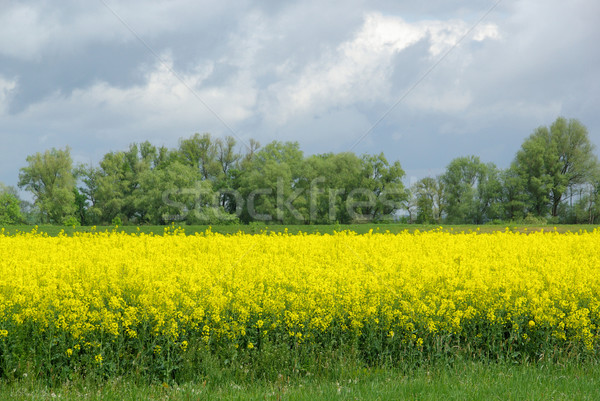Rapeseed 42 Stock photo © LianeM