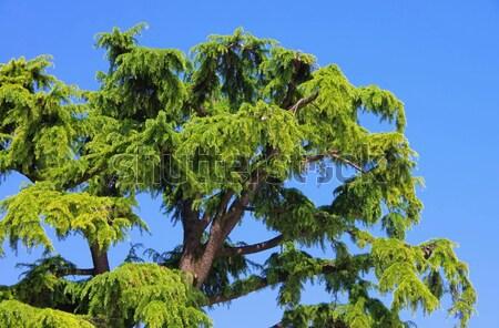 Sedir 12 ağaç ahşap yaprak mavi Stok fotoğraf © LianeM