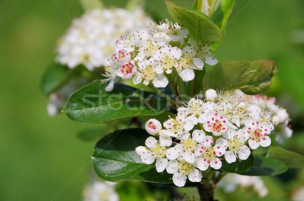 chokeberries flower 04 Stock photo © LianeM