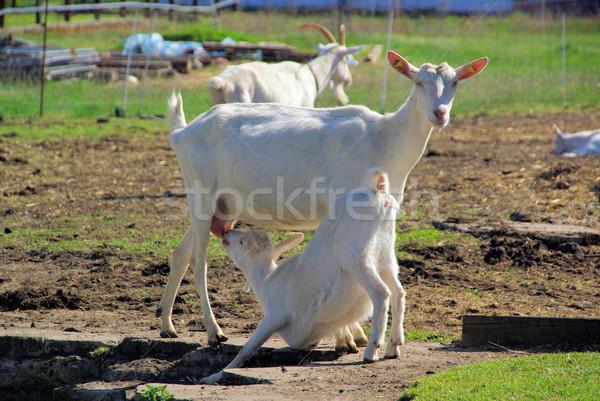 goat 23 Stock photo © LianeM