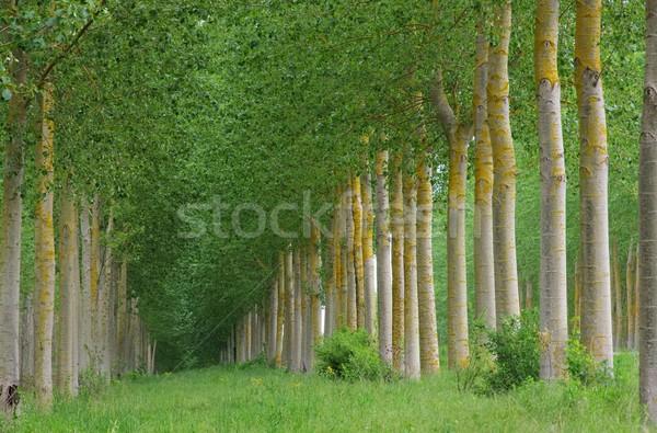 populus forest 10 Stock photo © LianeM