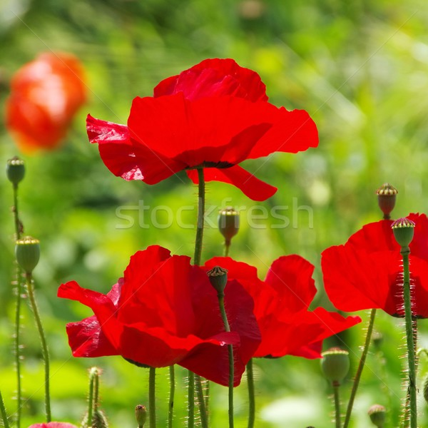 corn poppy  Stock photo © LianeM