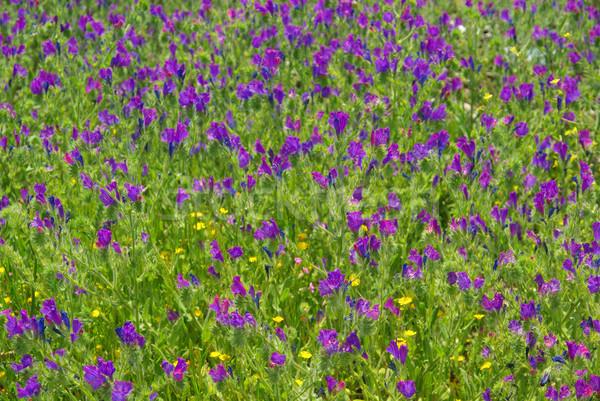 Mor yeşil bitki çayır çiçek ot Stok fotoğraf © LianeM