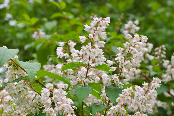 Deutzia crenata, white shrub Stock photo © LianeM