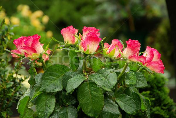 цветочный кладбище 19 цветок любви Сток-фото © LianeM
