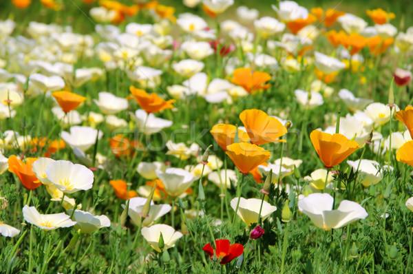 California poppy 24 Stock photo © LianeM