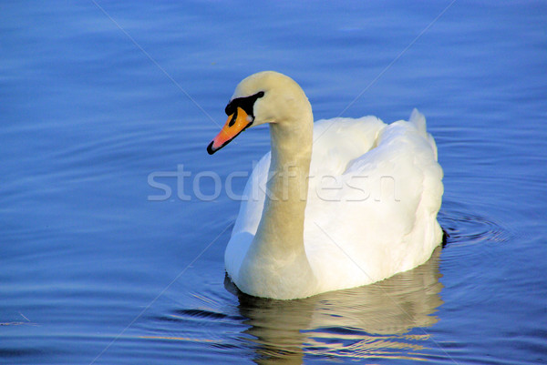 Cygne 17 Photo stock © LianeM
