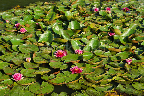 water lily 28 Stock photo © LianeM