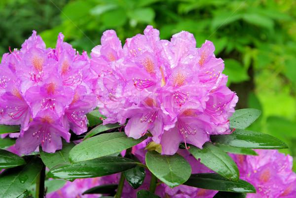 14 çiçek doğa arka plan yeşil yaprakları Stok fotoğraf © LianeM