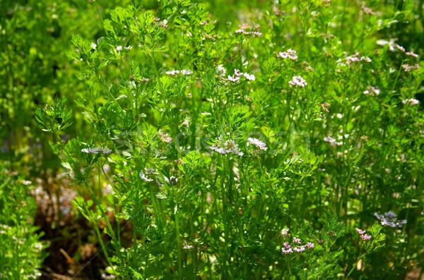Coentro planta médico natureza folhas tempero Foto stock © LianeM
