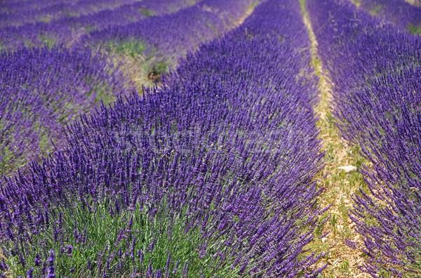 Lavendel veld bloemen schoonheid veld groene plant Stockfoto © LianeM