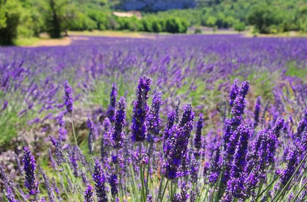 Lawendowe pole kwiaty piękna lata dziedzinie zielone Zdjęcia stock © LianeM