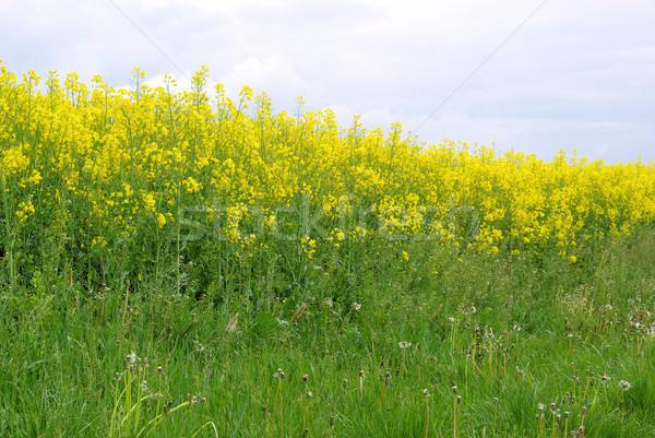 Rapeseed 45 Stock photo © LianeM