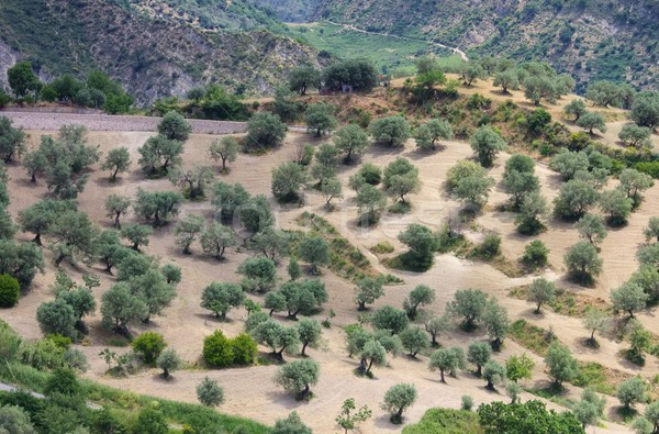 olive grove in Calabria  Stock photo © LianeM