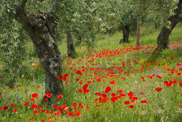 poppy and olive tree 10 Stock photo © LianeM