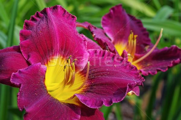 daylily of the species Bela Lugosi Stock photo © LianeM