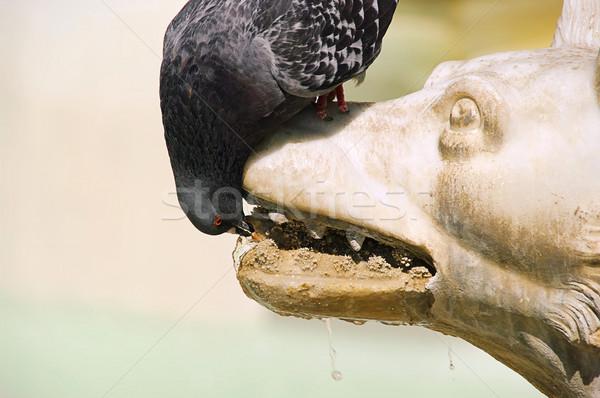 Pigeon drinking 01 Stock photo © LianeM