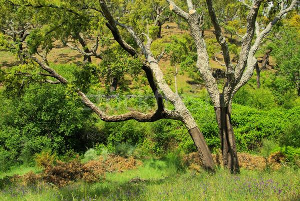 cork oak 37 Stock photo © LianeM