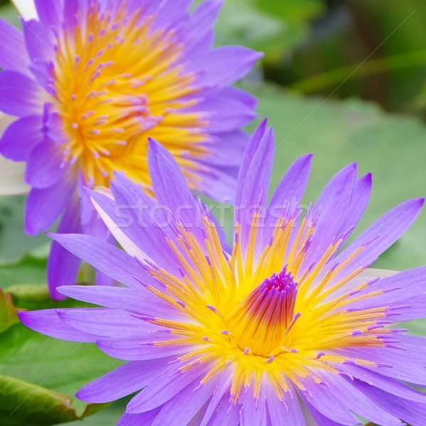 water lily  Stock photo © LianeM