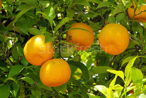 Pomarańczy drzewo liści owoców ogród pomarańczowy Zdjęcia stock © LianeM