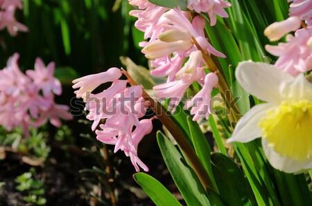 daffodil and hyacinth 09 Stock photo © LianeM