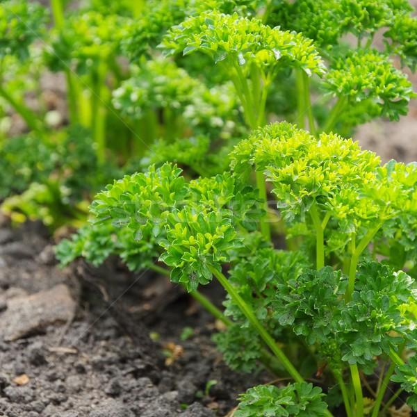 parsley garden